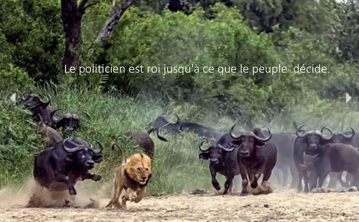 lions et buffles qui font du jogging