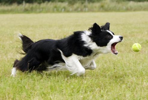 Chercher la balle : un objectif pour le chien