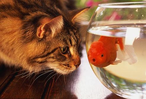 chat qui regarde avec gourmandise un poisson rouge dans un bocal